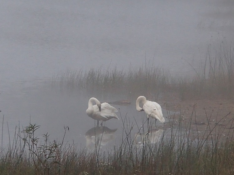 these beauties were taking a bath close to us in the morning mist.